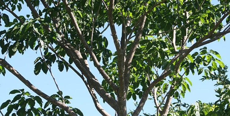 Pau D' Arco tree