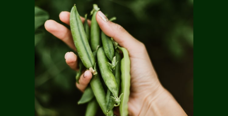 peas for protein